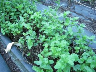 2009_08_28 herb 004.jpg